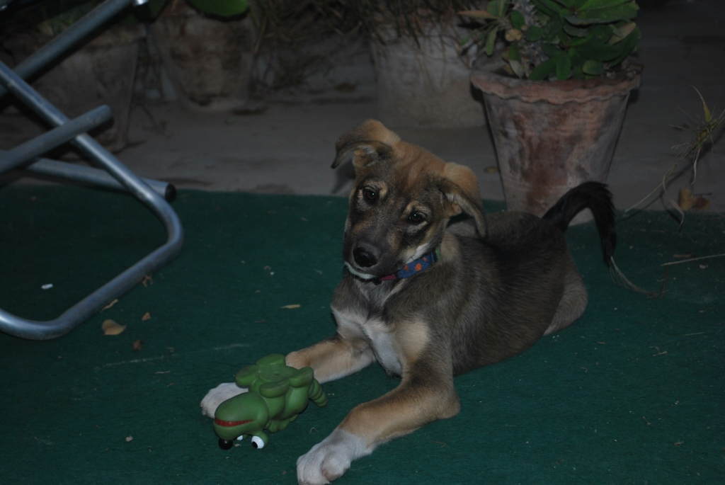 Scout - the offical prtector dog in training at the Taj