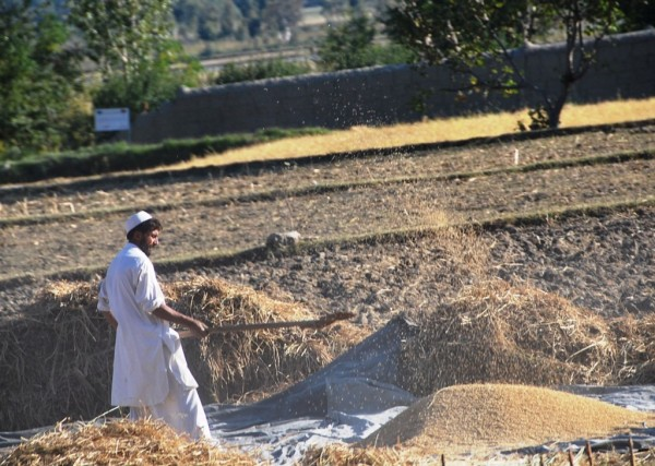 Kunar farmer threshing wheat the old fashioned way