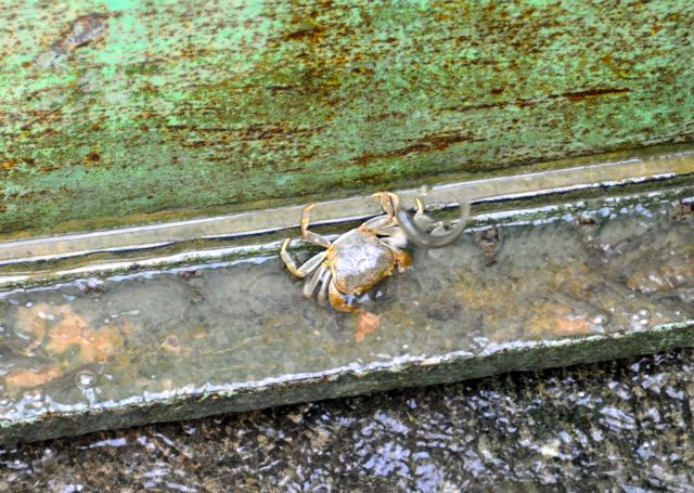 Did you know there were crabs in the irrigation canals of Afghanistan?  Me either.